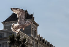 Seagull Flying on The Promenade. Hotel and palm trees  in background with clear blue sky Stock Photography
