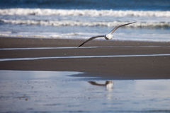 Seagull flying with reflection in water Stock Photography
