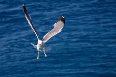 Seagull flying from the sea Stock Photo