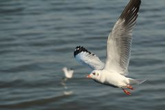 Seagull flying on the sea . Stock Images