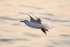 Seagull. Are flying on the sea Royalty Free Stock Images
