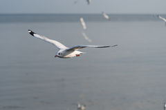 Seagull flying with sea blur background stock photo