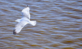 Seagull. Flying on sea. Finland Stock Photo