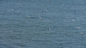 Seagull flying in sea. stock video footage
