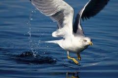 Seagull flying on sea level Stock Photos