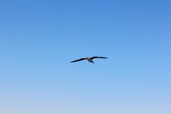 Seagull flying by the sea side royalty free stock images