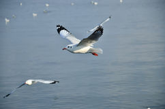 Seagull flying on sea Royalty Free Stock Images