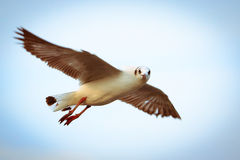 A seagull flying. Seagulls fly in the blue sky. Royalty Free Stock Photography