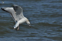 Seagull flying, searching for food over the waves. Baltic Sea Stock Images