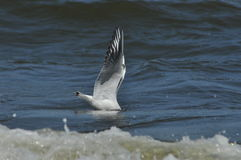 Seagull flying, searching for food, over the waves. Baltic Sea in Poland. Stock Photos