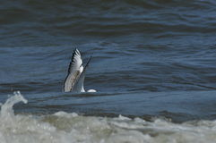 Seagull flying, searching for food over the waves. Baltic Sea Royalty Free Stock Photography