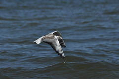 Seagull flying, searching for food over the waves. Baltic Sea Royalty Free Stock Images
