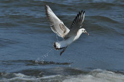 Seagull flying, searching for food over the waves. Baltic Sea Stock Image
