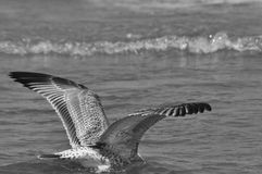 Seagull flying, searching for food over the waves. Baltic Sea Stock Photography