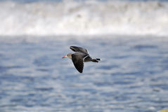 Seagull flying Royalty Free Stock Images