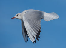 Seagull flying by Stock Photo