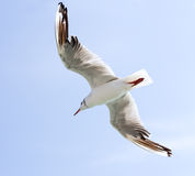 Seagull flying Royalty Free Stock Image