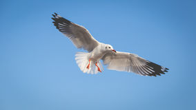 Seagull flying in the sky. Seagull with background of clear sky Stock Photos