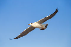 Seagull flying in the sky. Seagull with background of clear sky Royalty Free Stock Photos