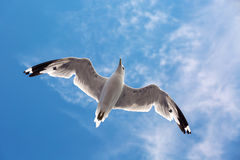 Seagull Flying In The Sky Stock Images