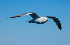 Seagull flying in sky Stock Images