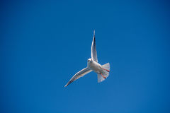 Seagull flying in sky over the sea waters Royalty Free Stock Photos
