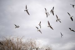 Seagull flying in the sky. Stock Photos