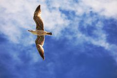 Seagull flying through the sky royalty free stock photography