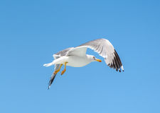Seagull is flying and soaring over blue sea. Royalty Free Stock Photo