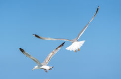 Seagull is flying and soaring over blue sea. Royalty Free Stock Image