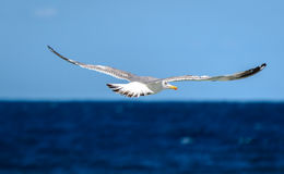 Seagull is flying and soaring over blue sea. Stock Photos