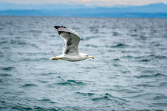 Seagull is flying and soaring in over the sea Royalty Free Stock Photo