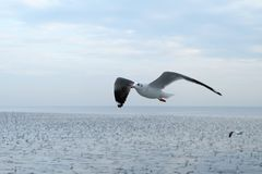 Seagull flying, Beautiful seaugll in Asia. royalty free stock photography