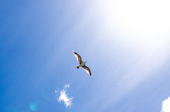 Seagull flying with spread wings towards light. Seagull flying high with wide spread wings towards light against a blue sky, inspirational concept of freedom and Stock Images
