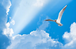 Seagull flying in the sun rays Stock Photography