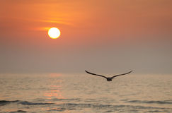 Seagull flying into the sun Stock Photo