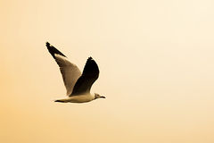Seagull flying Stock Image