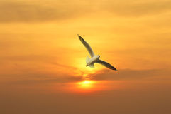 Seagull flying in the sunset above the sea Royalty Free Stock Photos