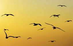 Seagull Flying Into the Sunset at Bangpu, Thailand Stock Photography