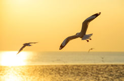 Seagull Flying Into the Sunset at Bangpu, Thailand Royalty Free Stock Images