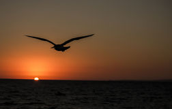 Seagull flying into the sunset. Royalty Free Stock Photo