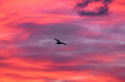 Seagull flying at sunset sky, silhouette. Clouds with orange, purple and red colors at sunset. Stock Photos