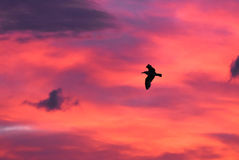 Seagull flying at sunset sky, silhouette. Clouds with orange, purple and red colors at sunset. Royalty Free Stock Photo