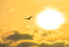 Seagull flying at sunset sky, silhouette. Sun between clouds a seagull flying. Stock Image