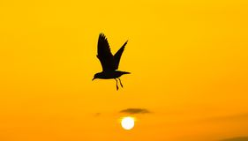 Seagull flying at sunset sky, silhouette. Sun between clouds a seagull flying. Royalty Free Stock Image