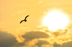 Seagull flying at sunset sky, silhouette. Sun between clouds a seagull flying. Stock Images