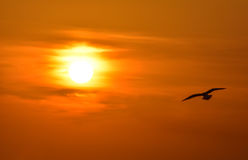 Seagull flying at sunset sky, silhouette. Sun between clouds, a seagull flying. Stock Images