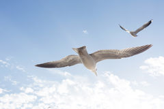 Seagull flying in the sunset. Two seagulls flying in the clear sky Royalty Free Stock Images