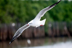 Seagull flying The Thai Gulf. Stock Photo