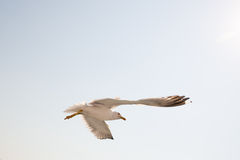 Seagull 3 royalty free stock photography